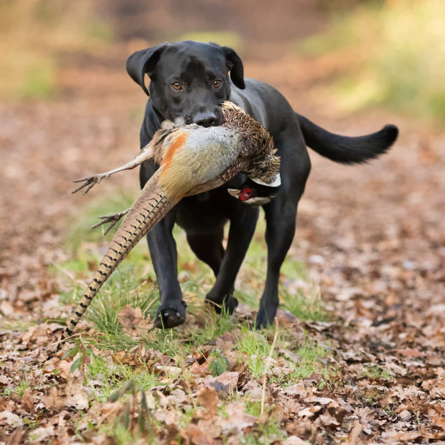 """Labrador Retriever with Pheasant"" stock image"