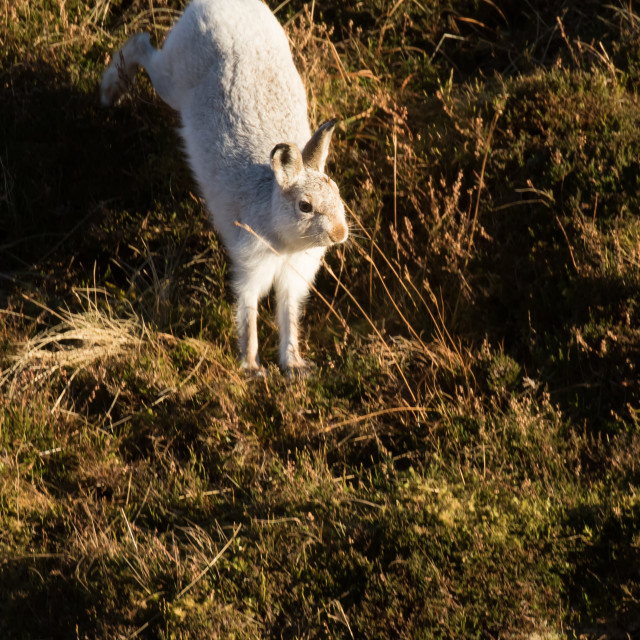 """Mountain Hare on the Move"" stock image"