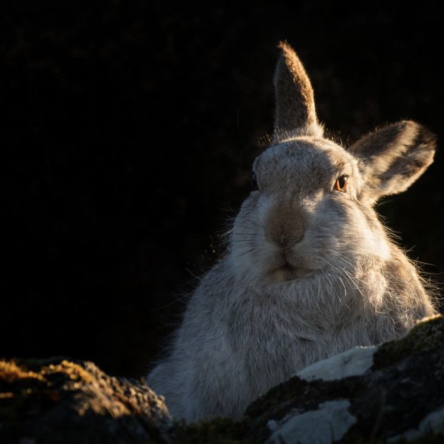 """Mountain Hare Portrait"" stock image"
