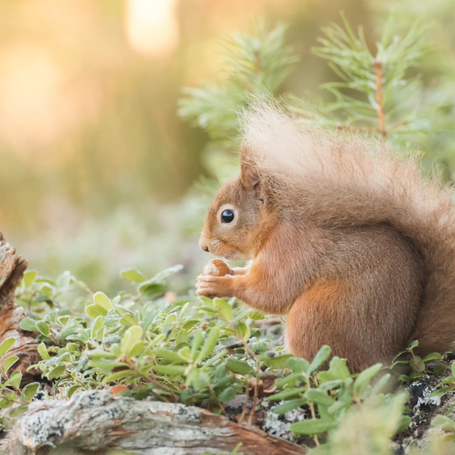 """A red squirrel on the forest floor"" stock image"