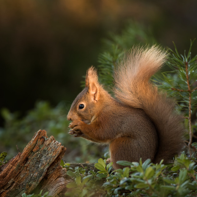 """A red squirrel posing in a patch of sunlight"" stock image"