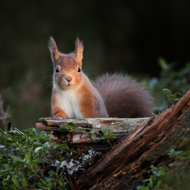 """Inquisitive red squirrel"" stock image"
