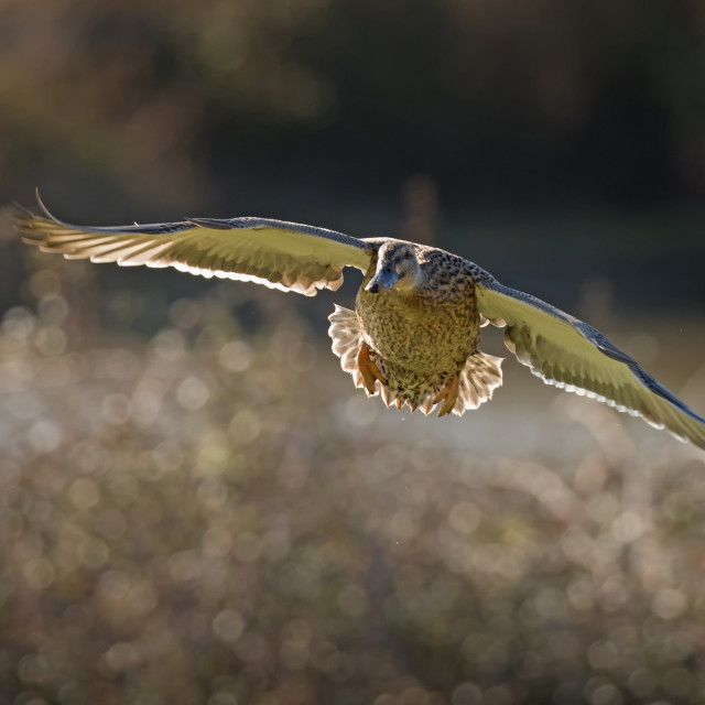 """Female Mallard in Flight"" stock image"