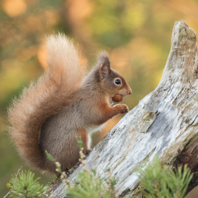 """A red squirrel in a Scottish forest"" stock image"