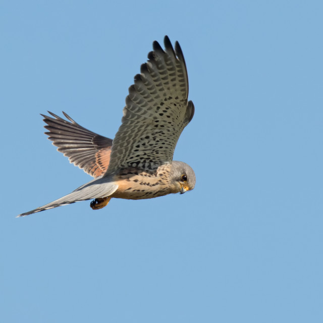 """Male Kestral in Flight"" stock image"