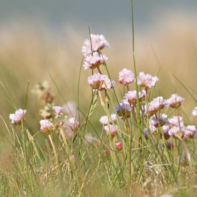"""Thrift (sea pinks)"" stock image"
