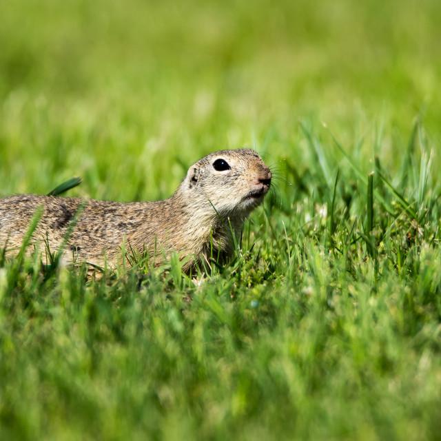 """ground-squirrel"" stock image"