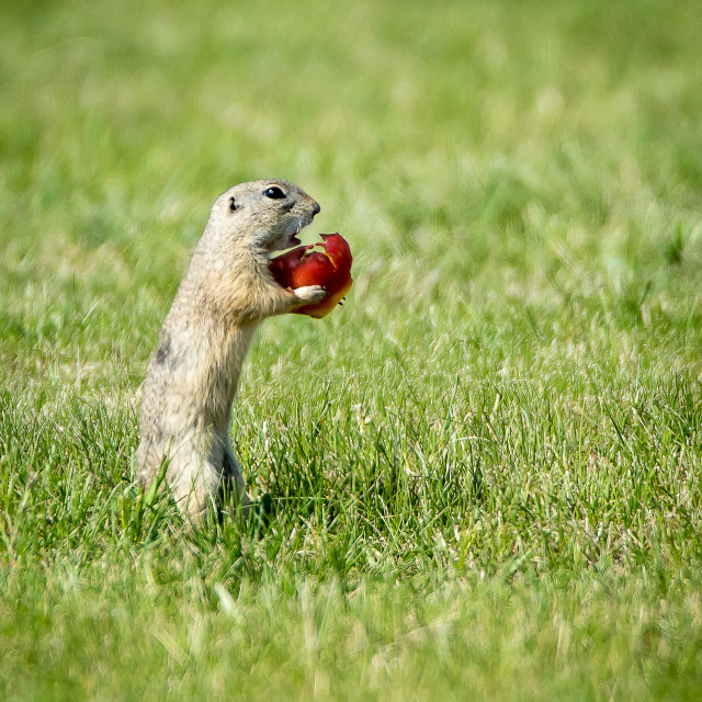 """ground-squirrel"" stock image"