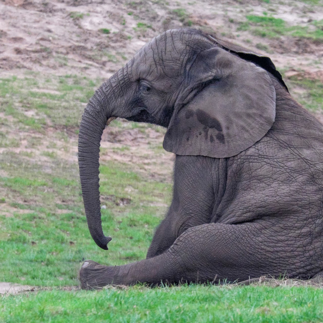 """Sad Elephant"" stock image"