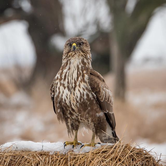 """Common buzzard fight"" stock image"