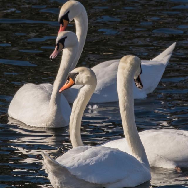 """White Swans gathering"" stock image"