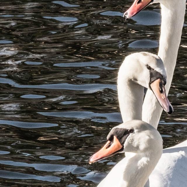 """""""White Swans - trio"""" stock image"""