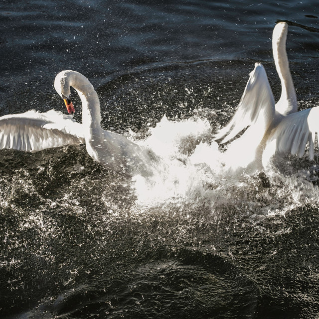 """""""Swans - rivals in combat"""" stock image"""