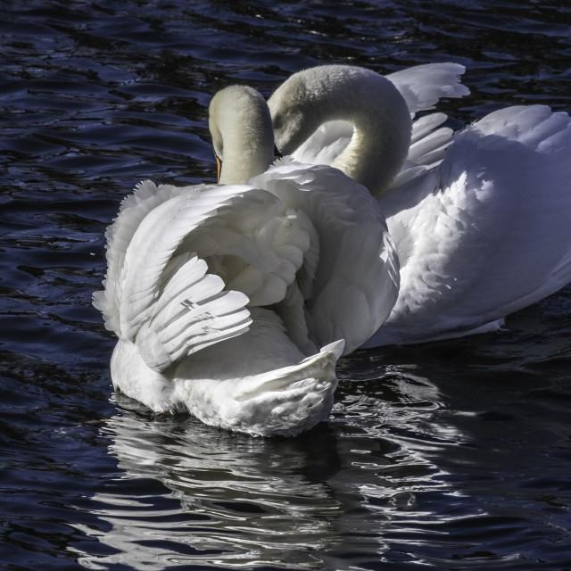 """""""White swans - cuddling pair"""" stock image"""
