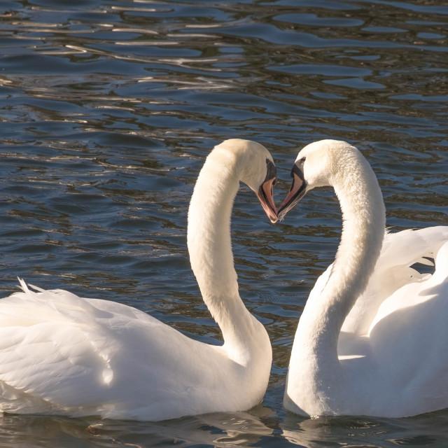 """White swans - Heart"" stock image"