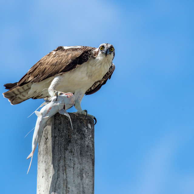 """Osprey on post with fish"" stock image"