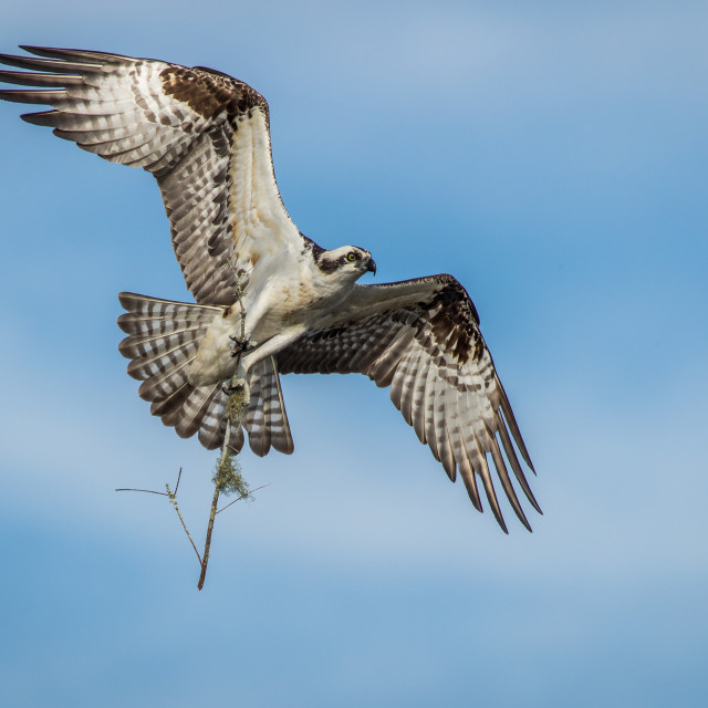"""Osprey in flight with nest material"" stock image"