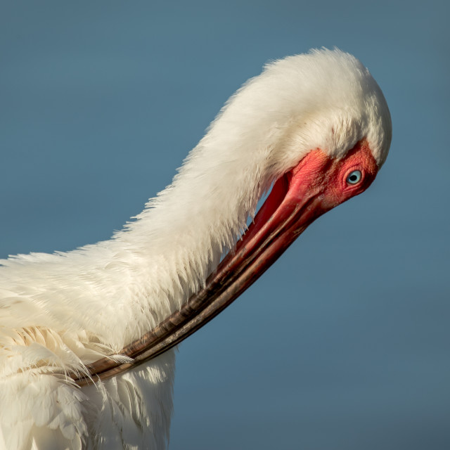 """White Ibis Preening"" stock image"