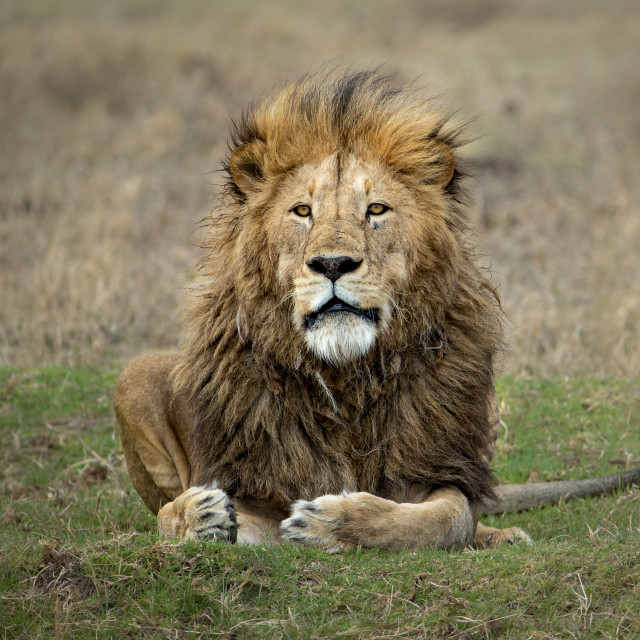 """Male Lion sitting and watching"" stock image"