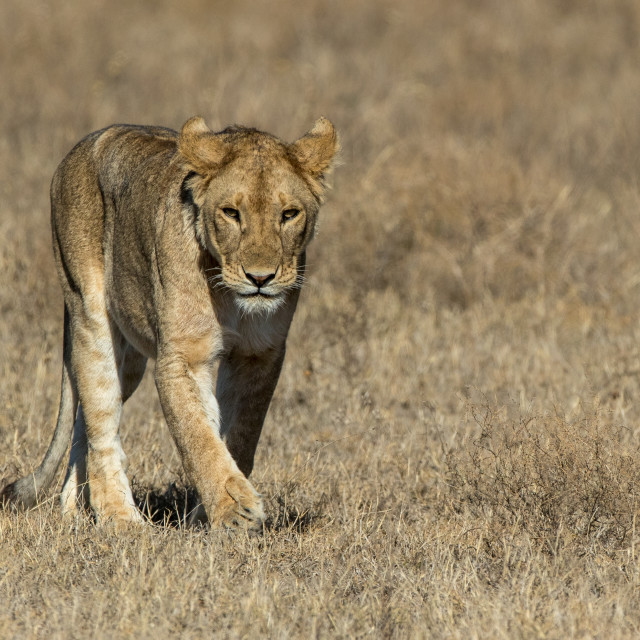 """Lioness prowls across the plains"" stock image"