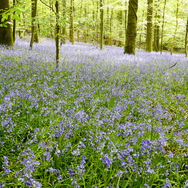 """""""Bluebells carpet huge areas of the Forest of Dean in Gloucestershire"""" stock image"""