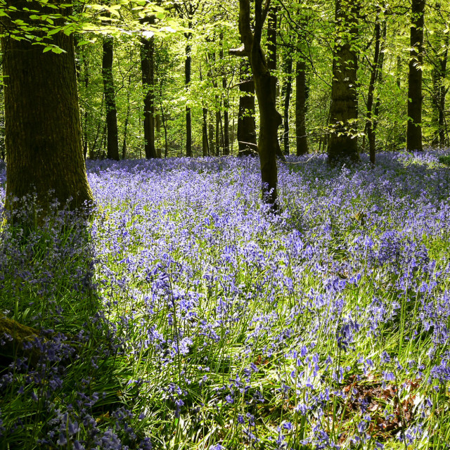 """""""Bluebells carpet the Forest of Dean"""" stock image"""