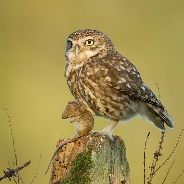 """""""Little Owl - The Hunter"""" stock image"""