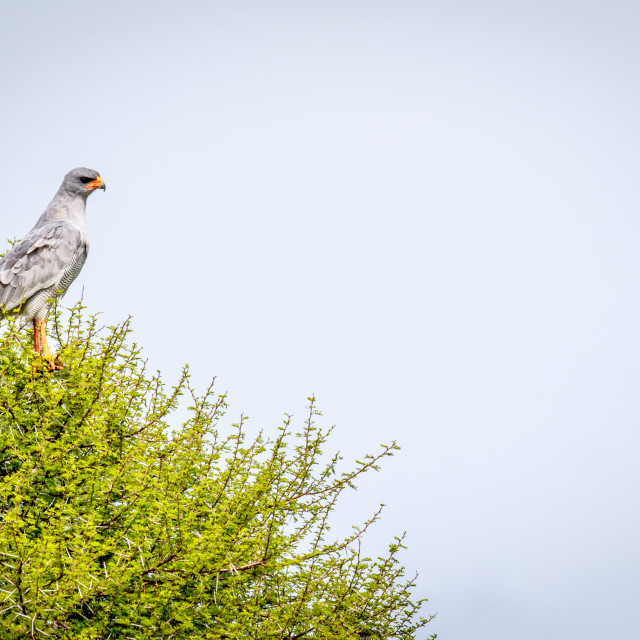 """Pale-chanting goshawk in a tree."" stock image"