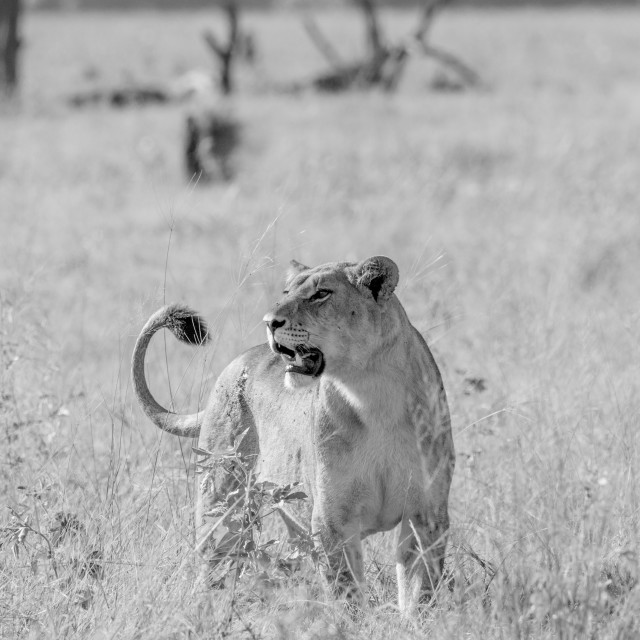 """""""Lioness in the high grass in black and white."""" stock image"""