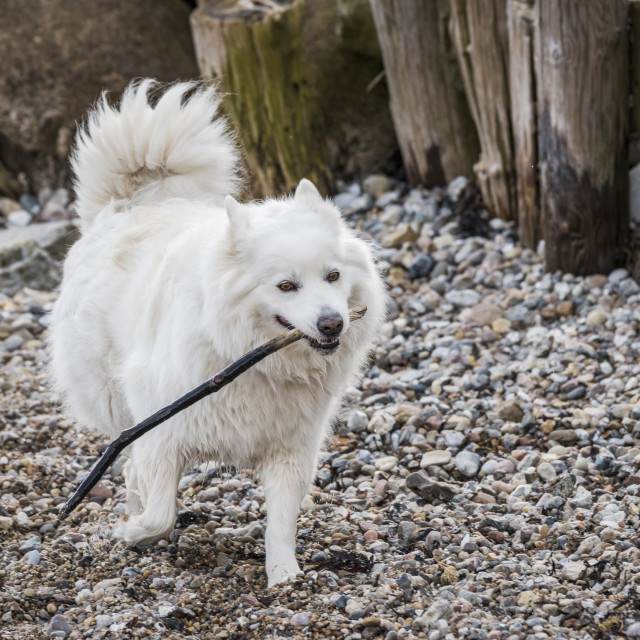 """Female samoyed dog playing with a wooden stick"" stock image"