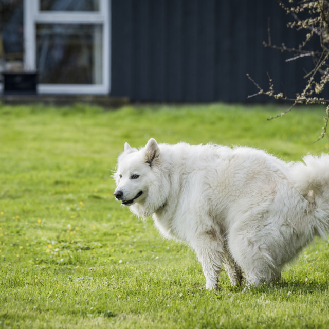 """Samoyed dog taking a dump"" stock image"