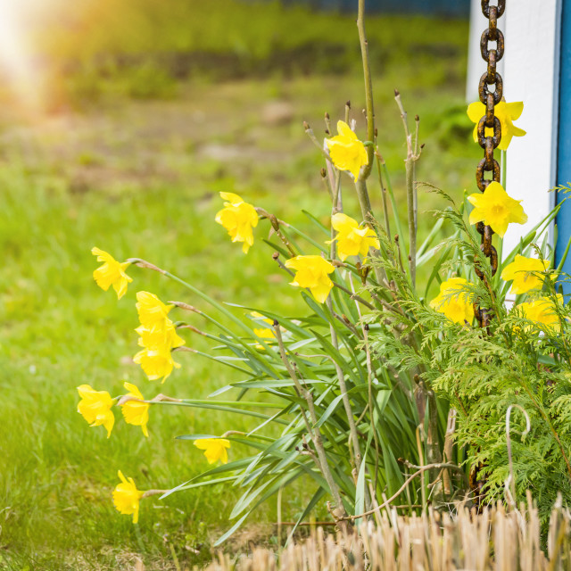 """Daffodils in a garden with green grass"" stock image"