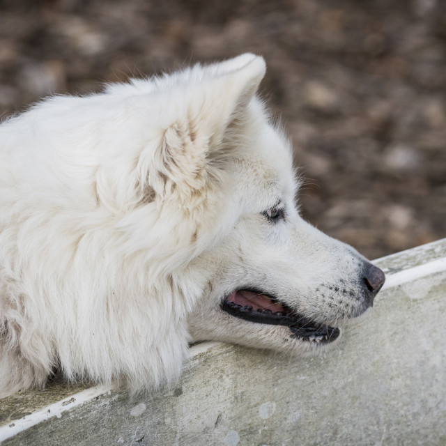 """Samoyed family dog with fluffy white fur"" stock image"