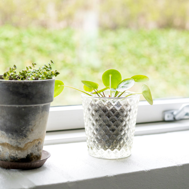 """Plants in pots in a bright window"" stock image"