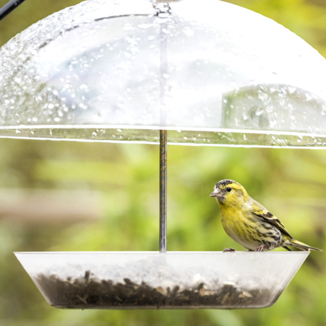 """Siskin bird taking cover for the rain"" stock image"