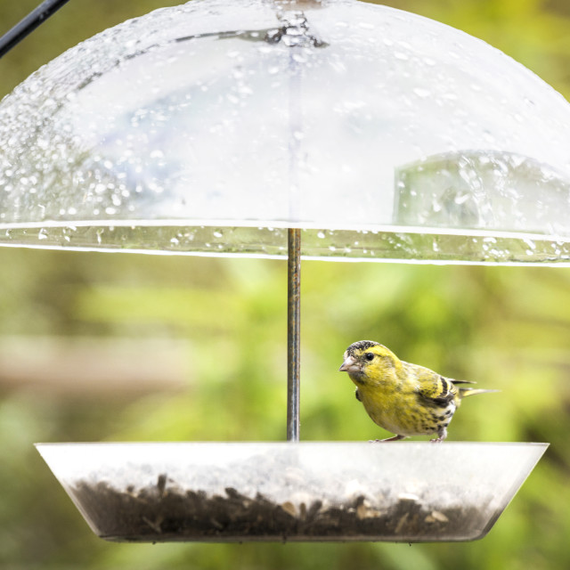 """Siskin bird eating food on a rainy day"" stock image"