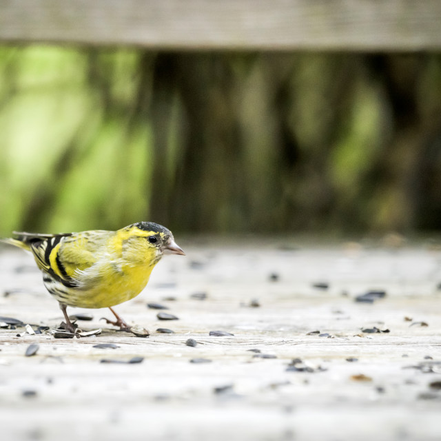 """Siskin bird in yellow colors eating bird seeds"" stock image"