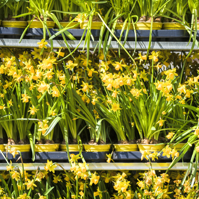 """Daffodils on a row at a market"" stock image"