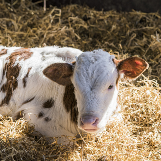 """Calf lying in the hay in the sunshine"" stock image"