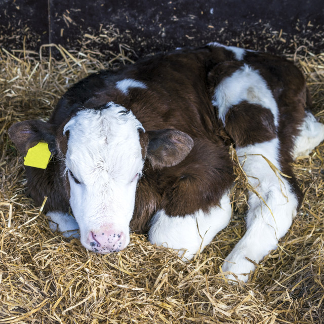 """Hereford calf with a yellow ear mark"" stock image"