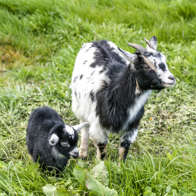 """Goat mother with her young black kid"" stock image"