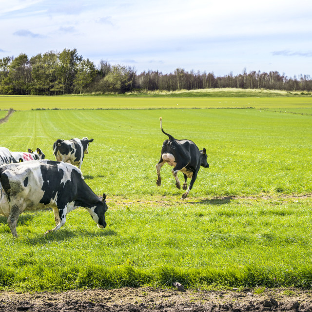 """Wild cows enjoy their first time on green grass"" stock image"