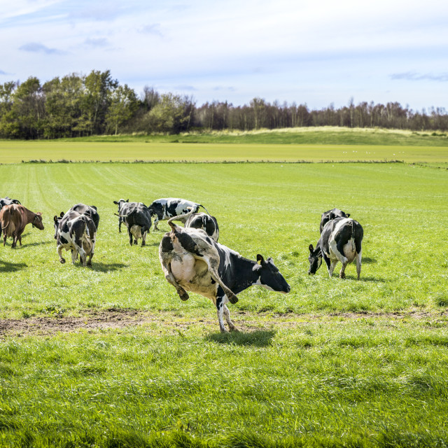"""Cows run out on a green meadow"" stock image"