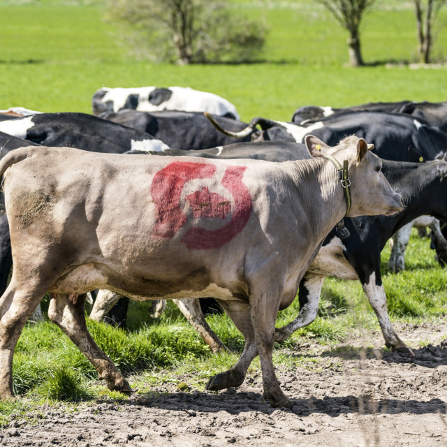 """Cow with the danish ecology quality stamp"" stock image"
