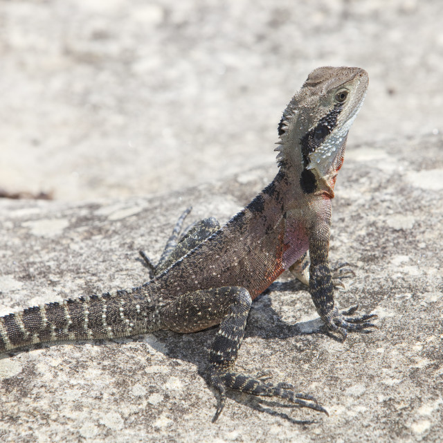 """An Eastern Water Dragon lizard basking near Manly Beach, Sydney, Australia."" stock image"
