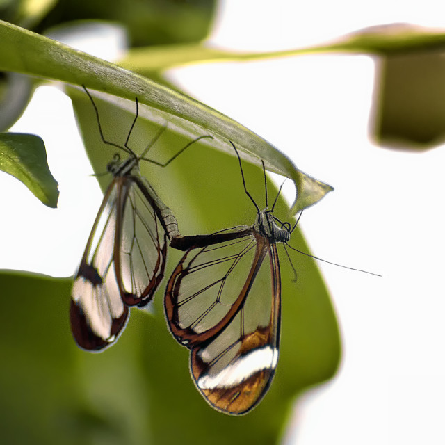 """Greta Oto the glasswinged butterflies"" stock image"