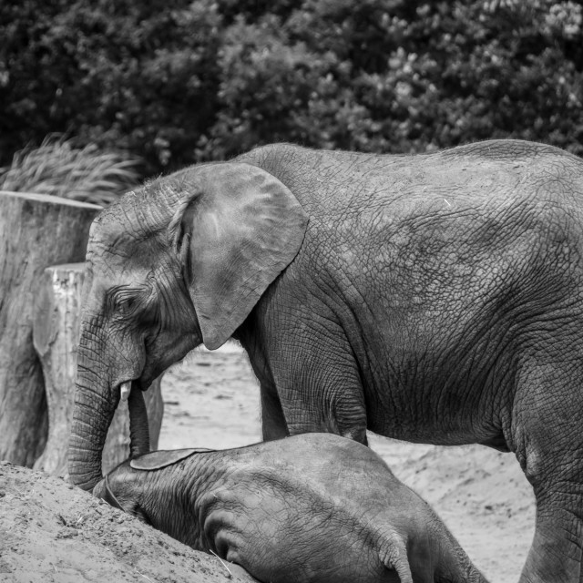 """Adult and calf elephant"" stock image"