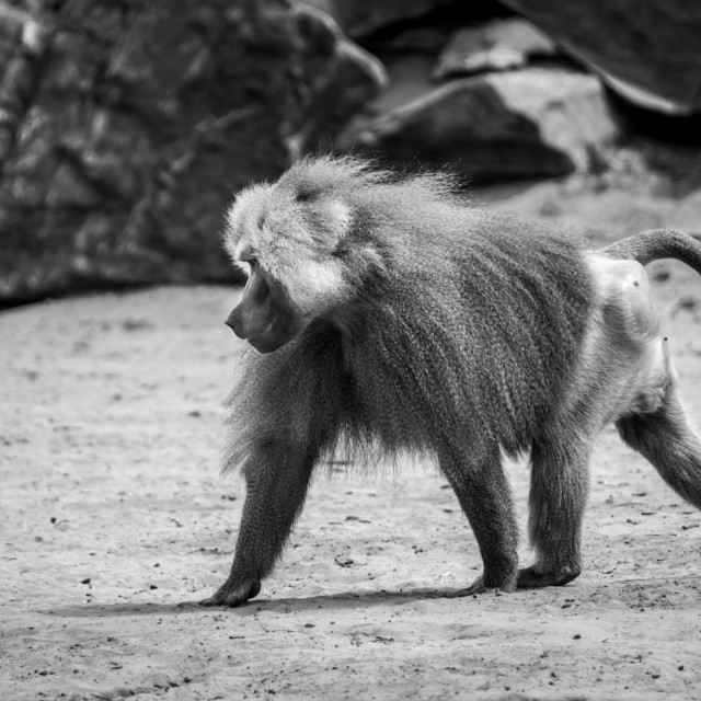 """Dominant baboon"" stock image"