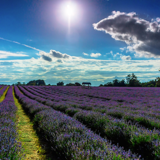 """""""Lavender Heaven Mayfield"""" stock image"""