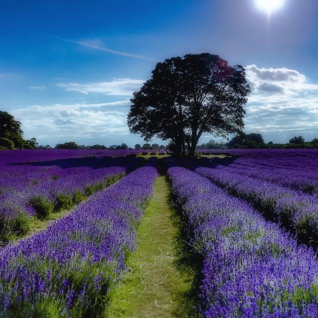 """""""An Oak In Lavender"""" stock image"""